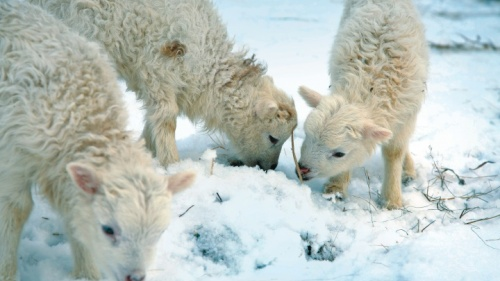 Des agneaux dans la neige