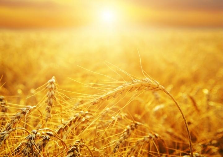 Des prémices (un champ de blé)