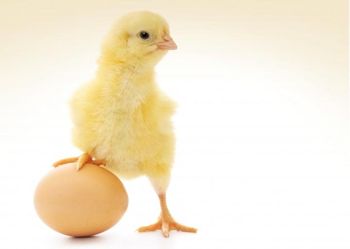 Un poussin à côté d'une coquille d'œuf