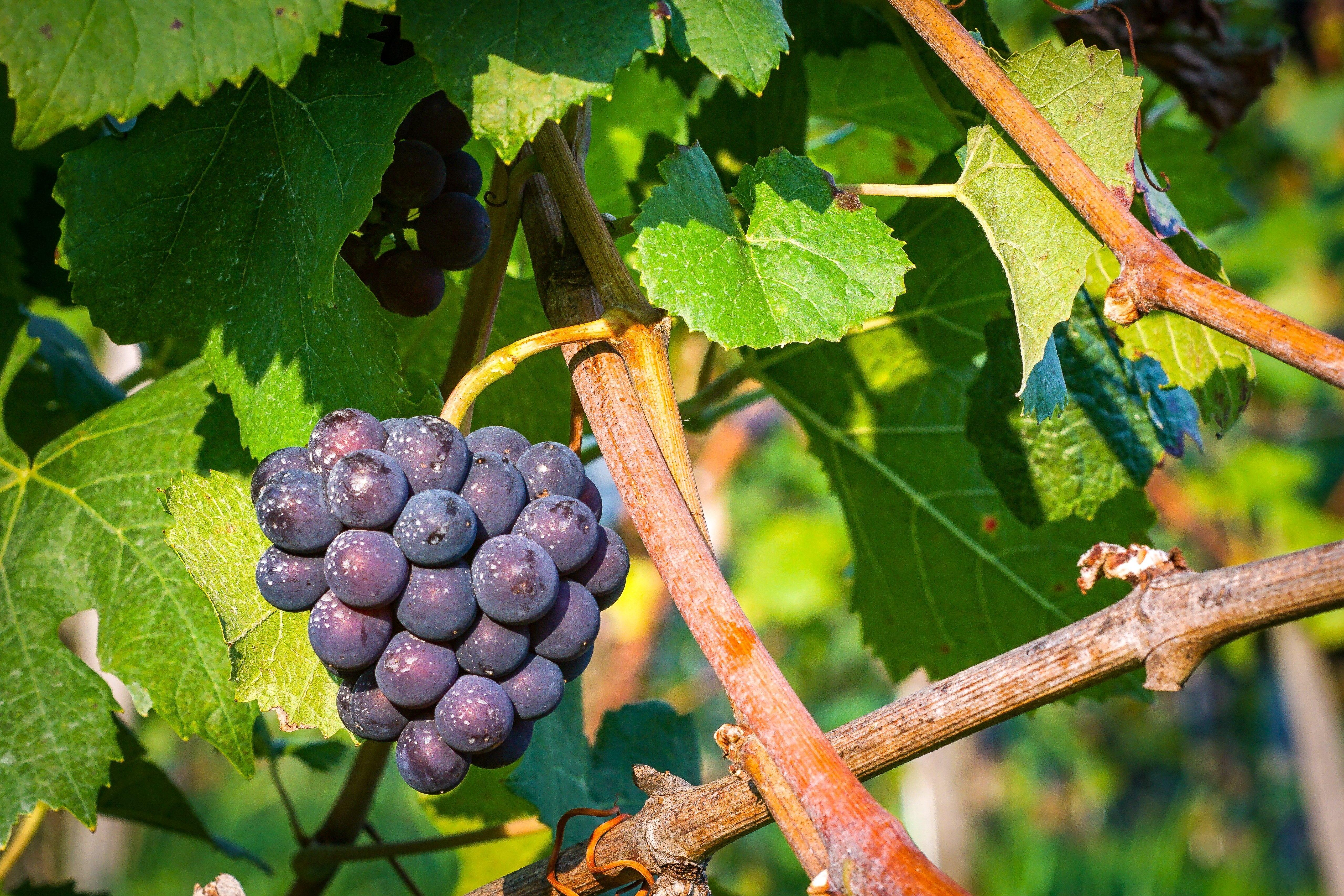 Des raisins sur une branche